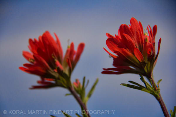Indian Paintbrush Photograph  0917  | Wildflower Photography | Koral Martin Fine Art Photography
