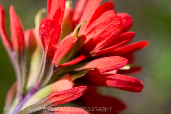 Indian Paintbrush Photograph  1056  | Wildflower Photography | Koral Martin Fine Art Photography