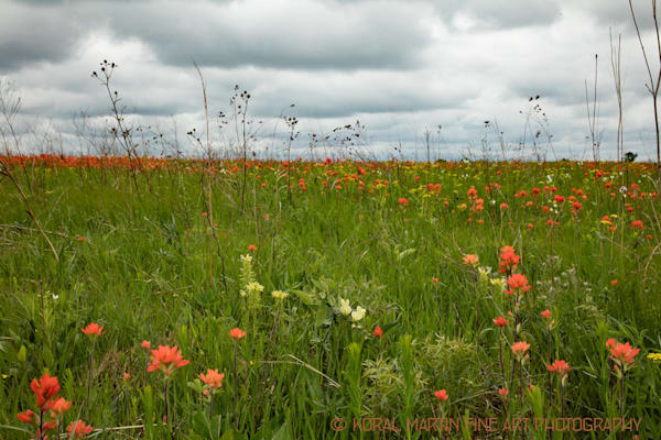 Indian Paintbrush Field Photograph  7742  | Wildflower Photography | Koral Martin Fine Art Photography