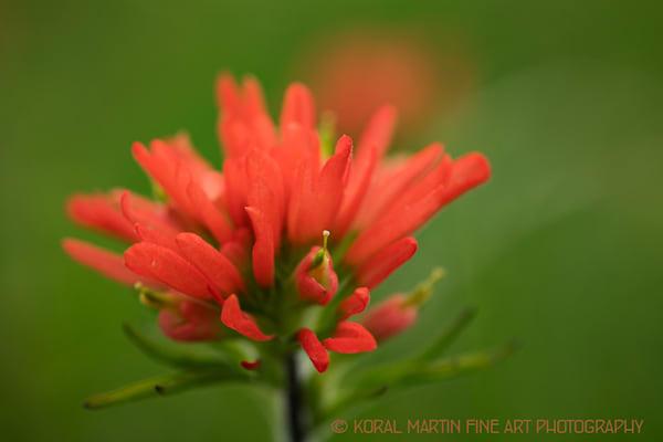 Indian Paintbrush Photograph  7756  | Wildflower Photography | Koral Martin Fine Art Photography