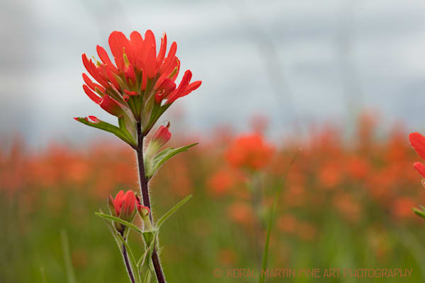 Indian Paintbrush  Photograph  7764  | Wildflower Photography | Koral Martin Fine Art Photography