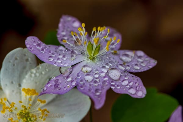 Pink rue with drops Photograph 9163 | Wildflower Photography | Koral Martin Fine Art Photography