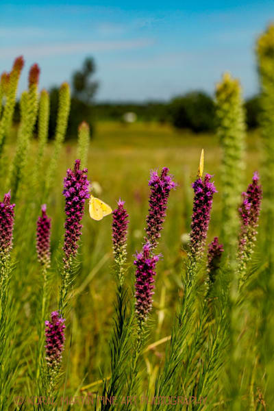 Liatris butterfly Photograph 1857  | Wildflower Photography | Koral Martin Fine Art Photography