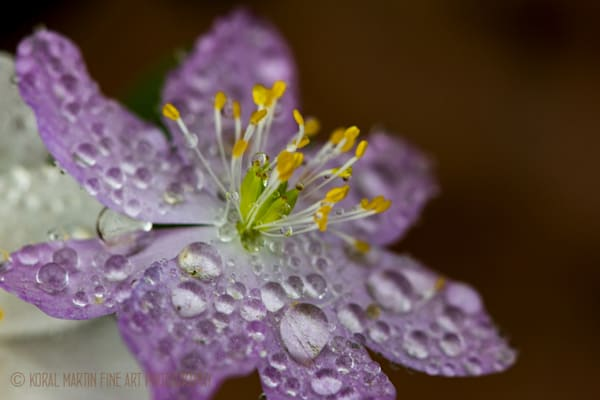 Pink rue close with raindrops  Photograph 8889 | Wildflower Photography | Koral Martin Fine Art Photography