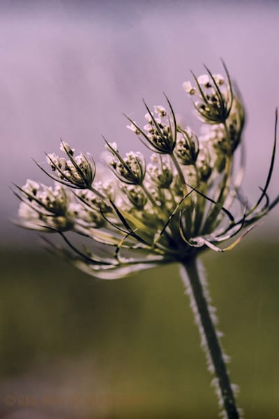 Queen Annes Lace 3065 Photograph | Wildflower  Photography |  Koral Martin Fine Art Photography