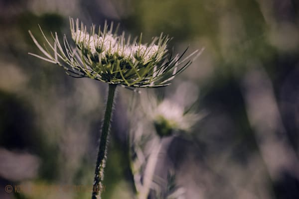 Queen Annes Lace 3102c  Photograph | Wildflower  Photography |  Koral Martin Fine Art Photography
