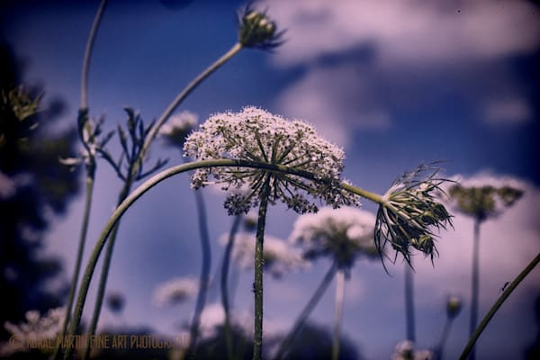 Queen Annes Lace 3617 Photograph | Wildflower  Photography |  Koral Martin Fine Art Photography
