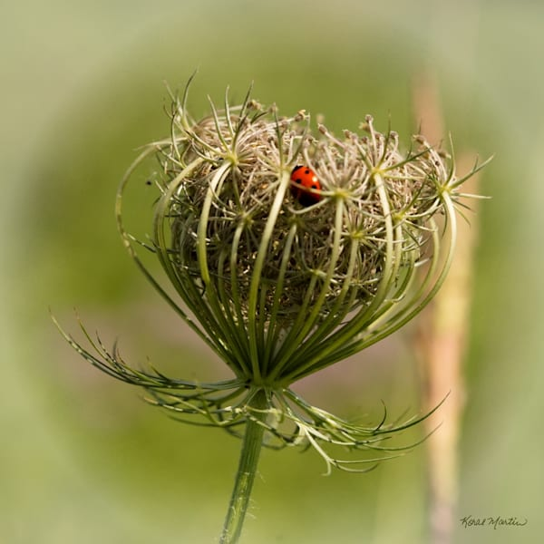Queen Annes Lace Lady bug 3031    Photograph | Wildflower  Photography |  Koral Martin Fine Art Photography
