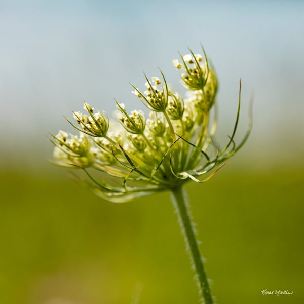 Queen Annes Lace3065 Wp    Photograph | Wildflower  Photography |  Koral Martin Fine Art Photography