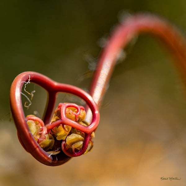 Unfurling Fern Photograph 1422 square  | Wildflower Photography | Koral Martin Fine Art Photography