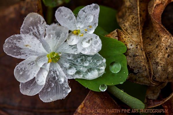 Wet wild Rue Anemone 8905  Photograph | Wildflower  Photography |  Koral Martin Fine Art Photography