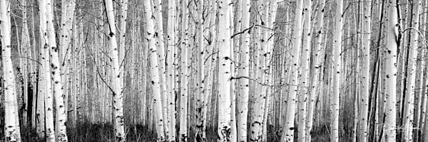 Black And White Aspens Photography Art | David Beavis Fine Art