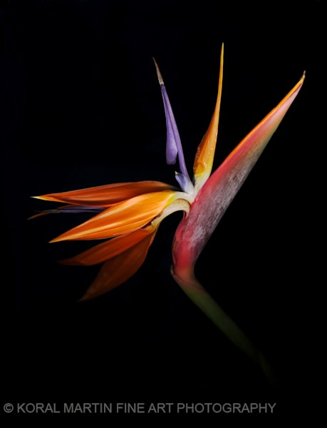 Bird Of Paradise  | Flower Photography | Koral Martin Fine Art Photography
