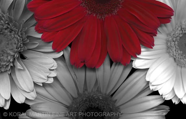 Blazing Daisy  | Flower Photography | Koral Martin Fine Art Photography
