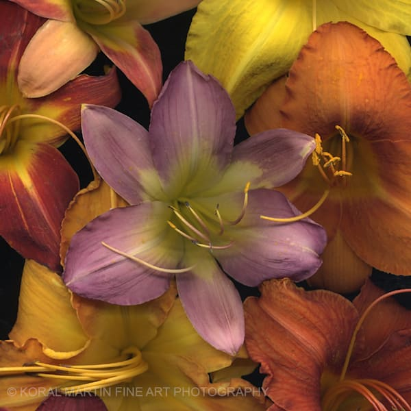 Daylily Medley square  | Flower Photography | Koral Martin Fine Art Photography