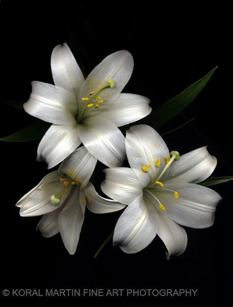 Easter Lily  | Flower Photography | Koral Martin Fine Art Photography