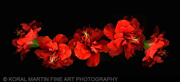 Hibiscus row  | Flower Photography | Koral Martin Fine Art Photography