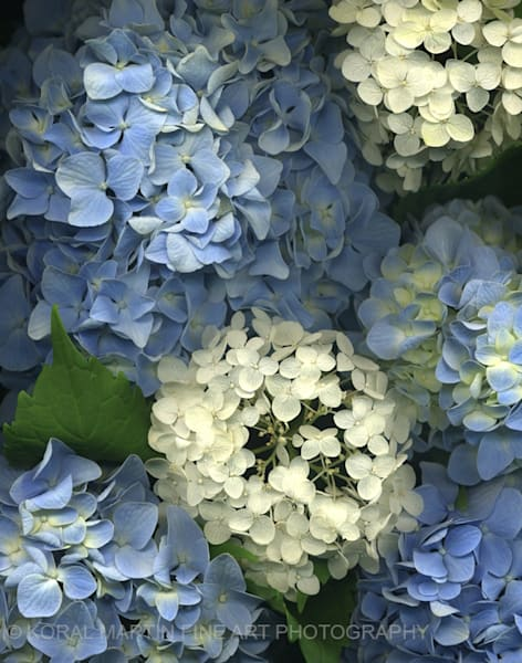 Hydrangeas  | Flower Photography | Koral Martin Fine Art Photography