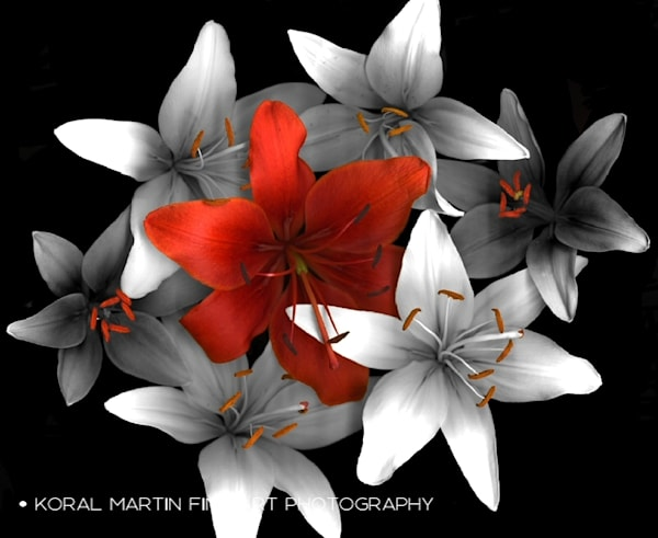 Lively lily  | Flower Photography | Koral Martin Fine Art Photography