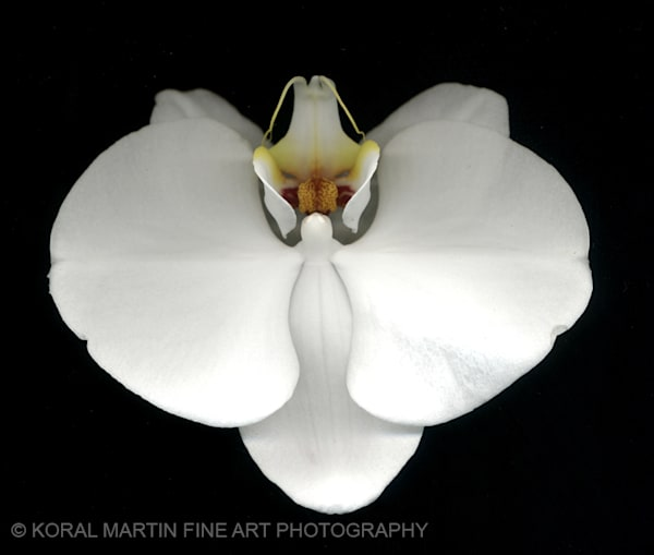 Orchid  | Flower Photography | Koral Martin Fine Art Photography