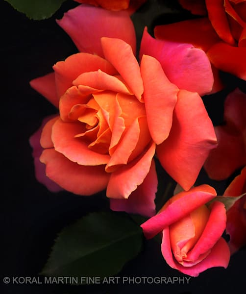 Salmon Rose Closeup  | Flower Photography | Koral Martin Fine Art Photography