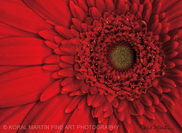 Red Gerbera  | Flower Photography | Koral Martin Fine Art Photography