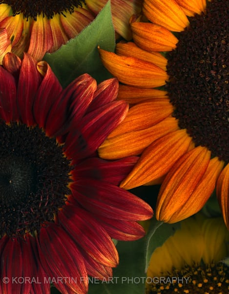Sunflower closeup Photograph 2  | Flower Photography | Koral Martin Fine Art Photography