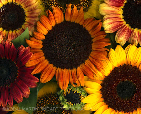 Sunflower Collage Copy | Flower Photography | Koral Martin Fine Art Photography