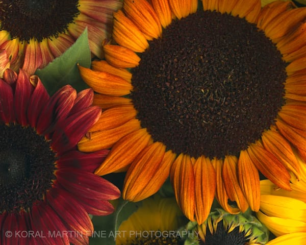 Sunflower Collage  | Flower Photography | Koral Martin Fine Art Photography