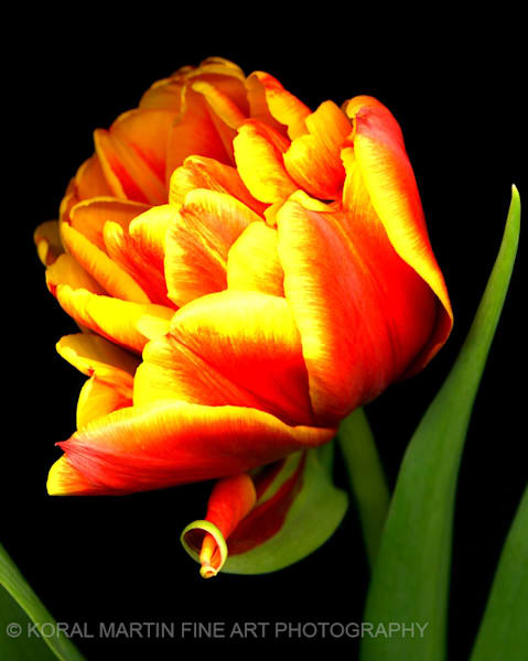 Tulip Parrot  | Flower Photography | Koral Martin Fine Art Photography