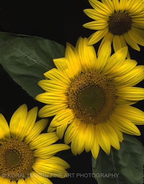 Sunflower trio  | Flower Photography | Koral Martin Fine Art Photography