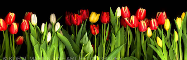 Tulips Row  | Flower Photography | Koral Martin Fine Art Photography