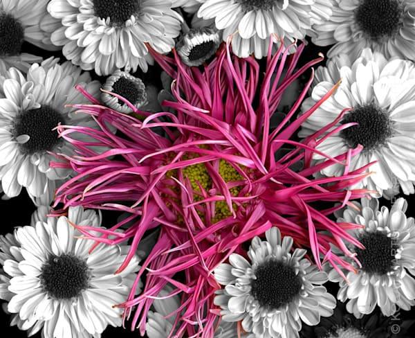 Wild Thing Spider Mum Daisies  | Flower Photography | Koral Martin Fine Art Photography