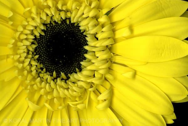Yellow Gerbera  | Flower Photography | Koral Martin Fine Art Photography