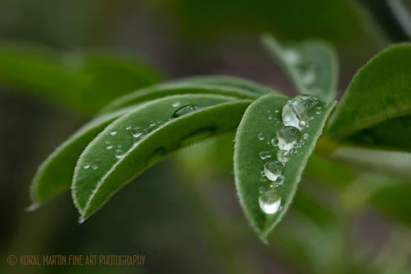 Lupine Waterdrops Photograph 8924HF | Macro Photography | Koral Martin Fine Art Photography