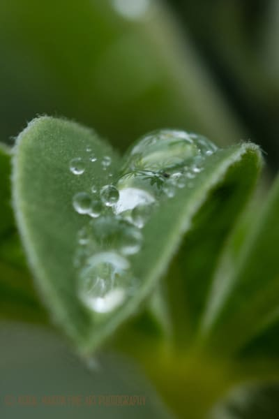 Lots of Drops 8919   Photograph | Macro  Photography |  Koral Martin Fine Art Photography
