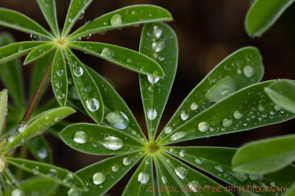 Waterdrops on Lupine Leaves | Macro Photography | Koral Martin Fine Art Photography