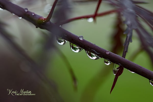 Reflecting waterdrops on Red Maple Tree Photograph 9685   | Macro Photography | Koral Martin Fine Art Photography