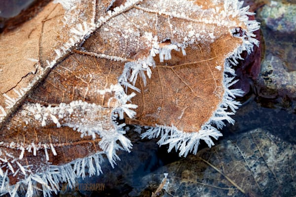 Frost on Leaf Photograph 9679 Close Crop    Macro Photography   Koral Martin Fine Art Photography
