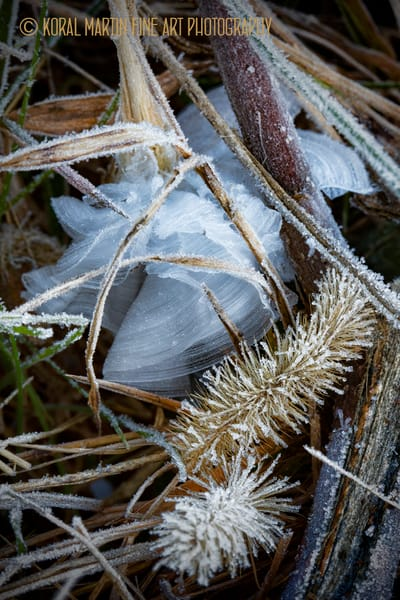 Frost Feather Wheat7226 C 17    Photograph   Macro  Photography    Koral Martin Fine Art Photography