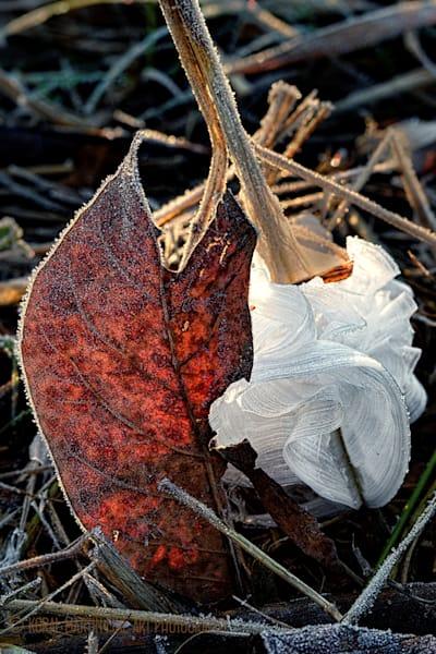 Frost Flower Photograph 7230 | Macro Photography | Koral Martin Fine Art Photography
