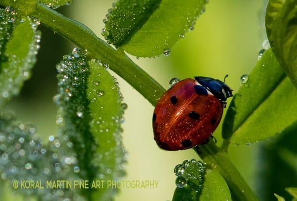 Ladybug 9072 C2    Macro Photography   Koral Martin Fine Art Photography