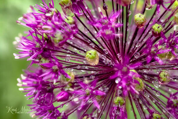 Allium Layers  | Flower Photography | Koral Martin Fine Art Photography