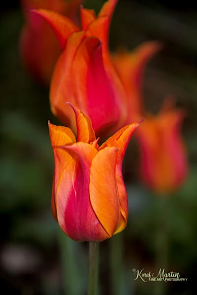 Orange pink tulip Photograph 0149  | Flower Photography | Koral Martin Fine Art Photography