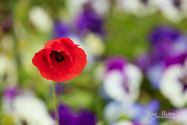 Poppy Colorful Background Photograph 1888  | Flower Photography | Koral Martin Fine Art Photography