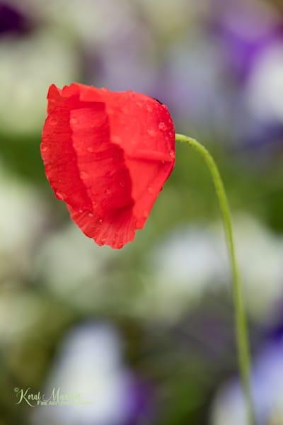 Poppy Vertical HF  | Flower Photography | Koral Martin Fine Art Photography