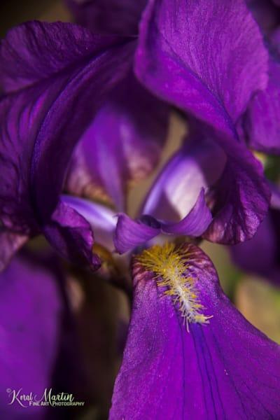 Purple iris Photograph 0213  | Flower Photography | Koral Martin Fine Art Photography