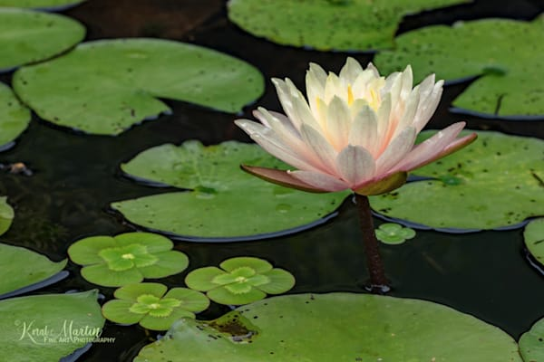 Waterlily Photograph 1575 E Photograph     Flower Photography   Koral Martin Fine Art Photography