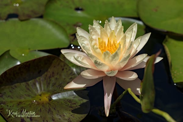Waterlily Photograph 9588  | Flower Photography | Koral Martin Fine Art Photography