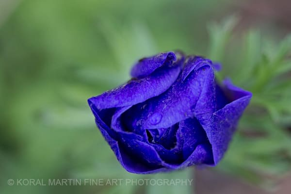 Anemone Photograph 0641 Photograph 8    Flower Photography   Koral Martin Fine Art Photography